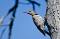 Northern flicker clinging to side of tree as it looks over its shoulder Royalty Free Stock Images
