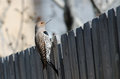 Northern flicker on fence red shafted peeking over a Stock Images