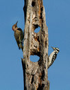 Northern Flicker and Hairy Woodpecker Stock Image