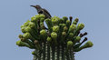 Northern flicker at home in a saguaro Stock Images