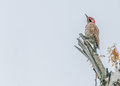 Northern Flicker Royalty Free Stock Photo