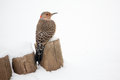 Northern flicker in the snow bird a type of woodpecker perched on a fence photographed virginia Royalty Free Stock Image