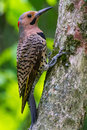Northern flicker spotted yellow black beige and red woodpecker on a mossy tree trunk Royalty Free Stock Photo