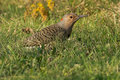 Northern flicker standing in the grass Stock Images