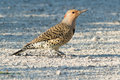 Northern flicker standing on a gravel path Stock Photos