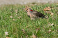 Northern flicker walking in the grass by the side of the road Royalty Free Stock Photo