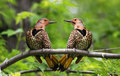 Northern Flickers in love Royalty Free Stock Photography