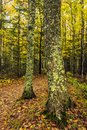 A northern forest in autumn in Michigan Royalty Free Stock Photo