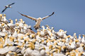 Northern Gannet Colony Royalty Free Stock Images
