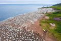 Northern gannet colony on Bonaventure island Royalty Free Stock Photo