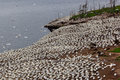 Northern gannet colony on Bonaventure Island Royalty Free Stock Photo