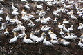 Northern gannet colony at nesting site Royalty Free Stock Photo