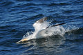 Northern Gannet diving Royalty Free Stock Photo
