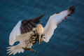 Northern gannet in flight Royalty Free Stock Photos