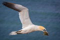 Northern gannet in flight Royalty Free Stock Photo