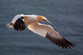 Northern gannet in flight over the sea Stock Image