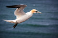 Northern gannet in flight over the sea Royalty Free Stock Images