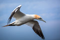 Northern gannet in flight over the sea Stock Photo
