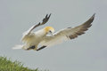 Northern gannet landing on cliff top a morus bassanus decelerates as it comes into land a grassy cliffside bank Stock Photo