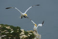 Northern gannet lands next to its mate on a clifftop courting pair of gannets morus bassanus one is coming in land cliff top the Royalty Free Stock Photo