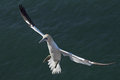 Northern gannet morus bassanus flying towards the cliff on heligoland Royalty Free Stock Photos