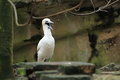 Northern gannet with the open bill Royalty Free Stock Photo