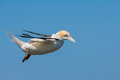 Northern gannet riding large up draft along cliffs bempton east riding yorkshire Stock Photos