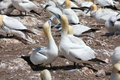Northern Gannets Stock Photo