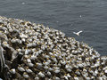 Northern gannets in birds colony Stock Photo