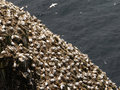 Northern gannets in birds colony Stock Image