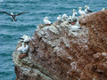 Northern gannets on cliff, Heligoland, Germany Royalty Free Stock Photo