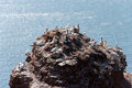 Northern gannets colony of on cliff at heligoland Royalty Free Stock Photo