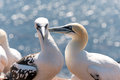 Northern gannets Royalty Free Stock Photo