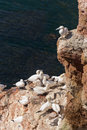 Northern gannets colony of at heligoland Stock Photography