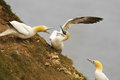 Northern gannets fight over a nest site two morus bassanus showing typical aggression territory during the mating season whilst Stock Photography