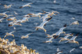 Northern gannets in flight gannet flock cape st marys ecological reserve newfoundland canada Stock Image