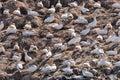 Northern Gannets Morus sitting on nests on Sept Iles, Bretagne Royalty Free Stock Photo