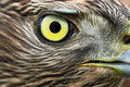 Northern Goshawk Stock Images