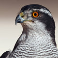 Northern Goshawk (Accipiter gentilis) Royalty Free Stock Photography