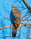 Northern goshawk a medium to large bird of prey with a wingspan of – cm – in its short broad wings and long tail help it to Royalty Free Stock Photos