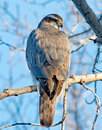 Northern goshawk a medium to large bird of prey with a wingspan of – cm – in its short broad wings and long tail help it to Royalty Free Stock Images