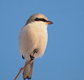 Northern grey shrike lanius excubitor in winter Royalty Free Stock Photos