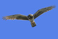 Northern Harrier (Circus cyaneus) female Stock Image