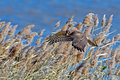 Northern harrier in flight against wind blown reeds showing speed and motion Royalty Free Stock Photos