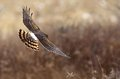 Northern harrier a in flight hunting for voles in a grass field Stock Photo
