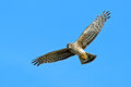 Northern harrier flying with wings spread looking down Royalty Free Stock Photography