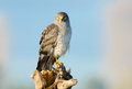Northern harrier marsh hawk male standing on a stump Royalty Free Stock Photos