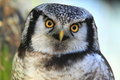 Northern hawk-owl Stock Image
