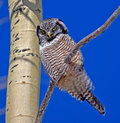 Northern hawk owl portrait of a this is a medium sized of the boreal forest that is primarily active during the day Royalty Free Stock Photos