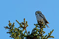 Northern Hawk Owl (Surnia ulula), with his capture Stock Photography